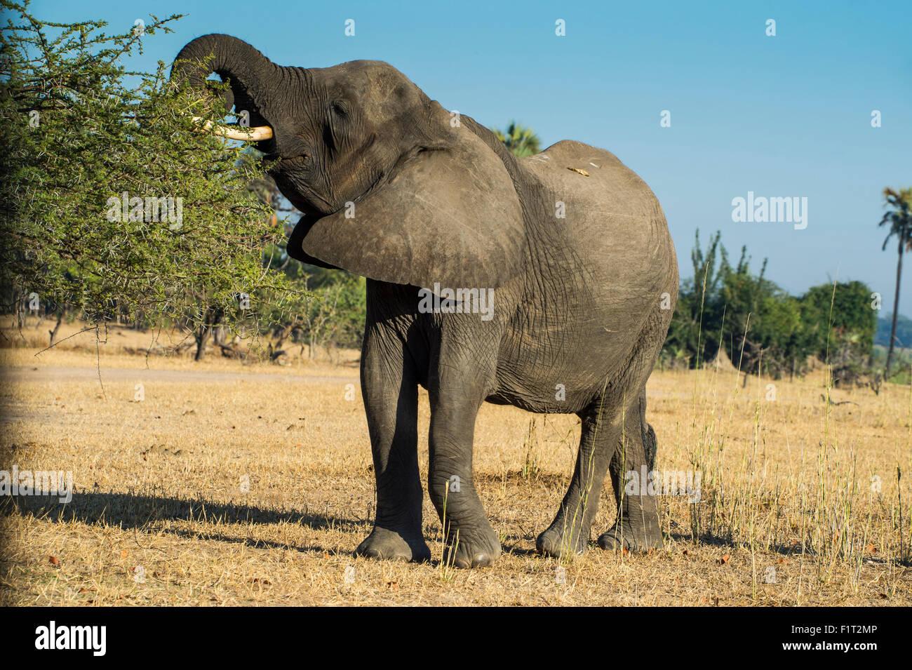 African bush elephant (Loxodonta africana) eating from a tree, Liwonde National Park, Malawi, Africa - Stock Image