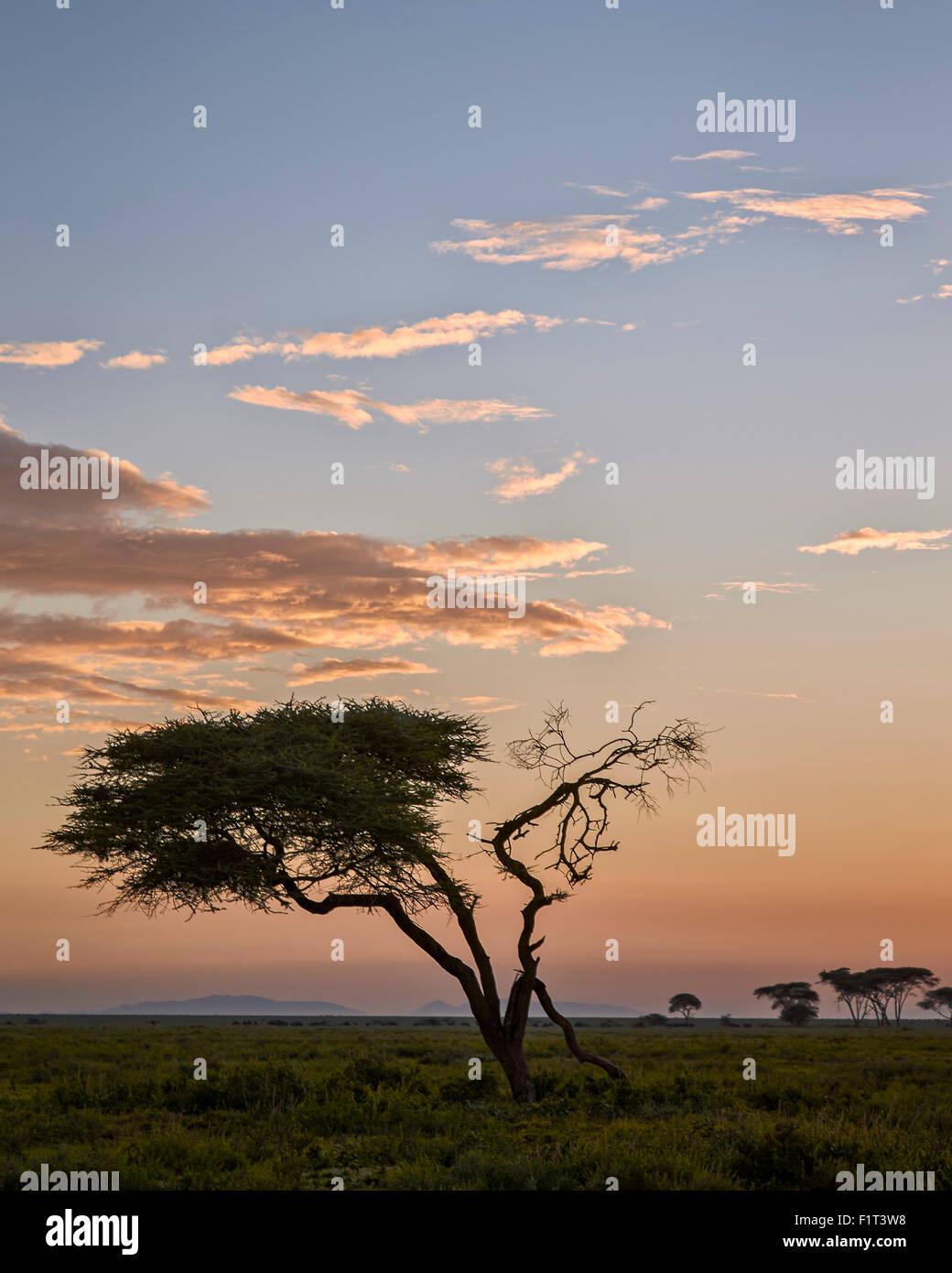 Acacia tree and clouds at dawn, Ngorongoro Conservation Area, UNESCO World Heritage Site, Serengeti, Tanzania, East - Stock Image