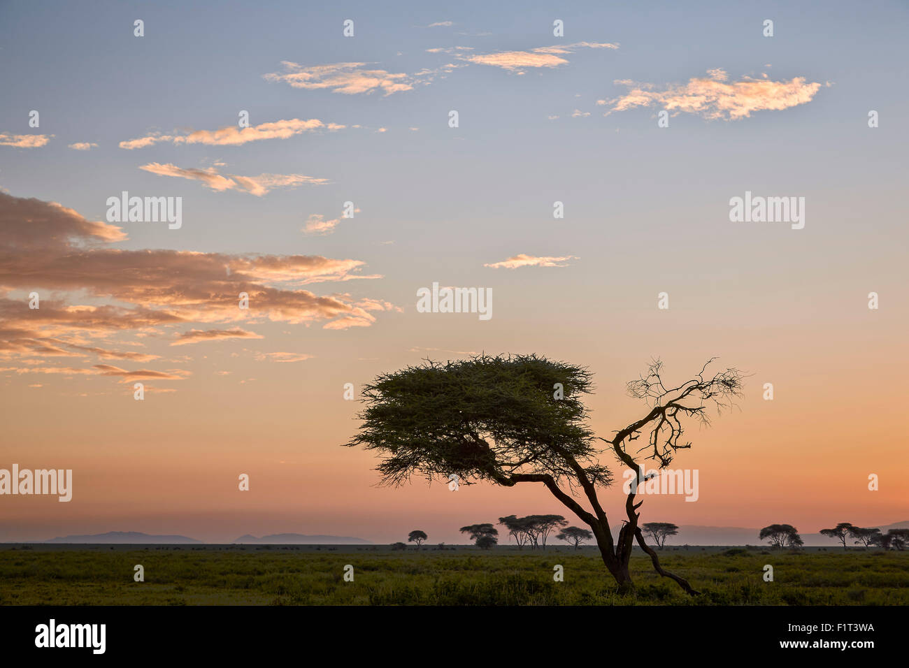 Acacia tree and clouds at dawn, Ngorongoro Conservation Area, UNESCO World Heritage Site, Serengeti, Tanzania, East Stock Photo