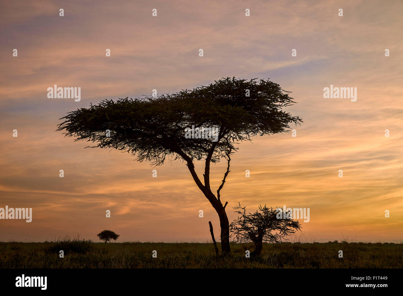 Acacia tree and clouds at dawn, Ngorongoro Conservation Area, UNESCO World Heritage Site, Serengeti, Tanzania, East - Stock Image