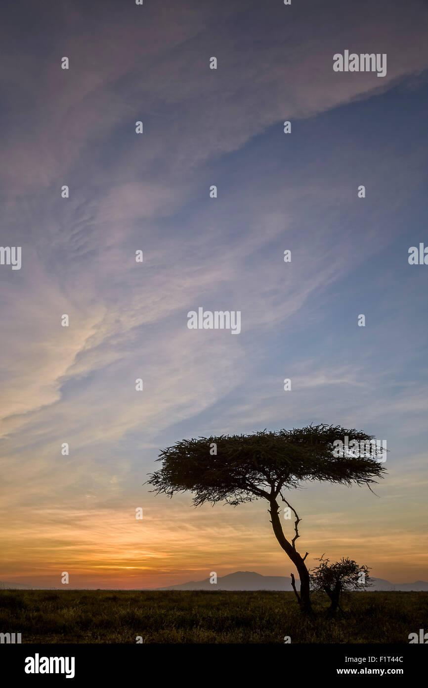 Acacia tree and clouds at sunrise, Ngorongoro Conservation Area, UNESCO World Heritage Site, Serengeti, Tanzania, - Stock Image