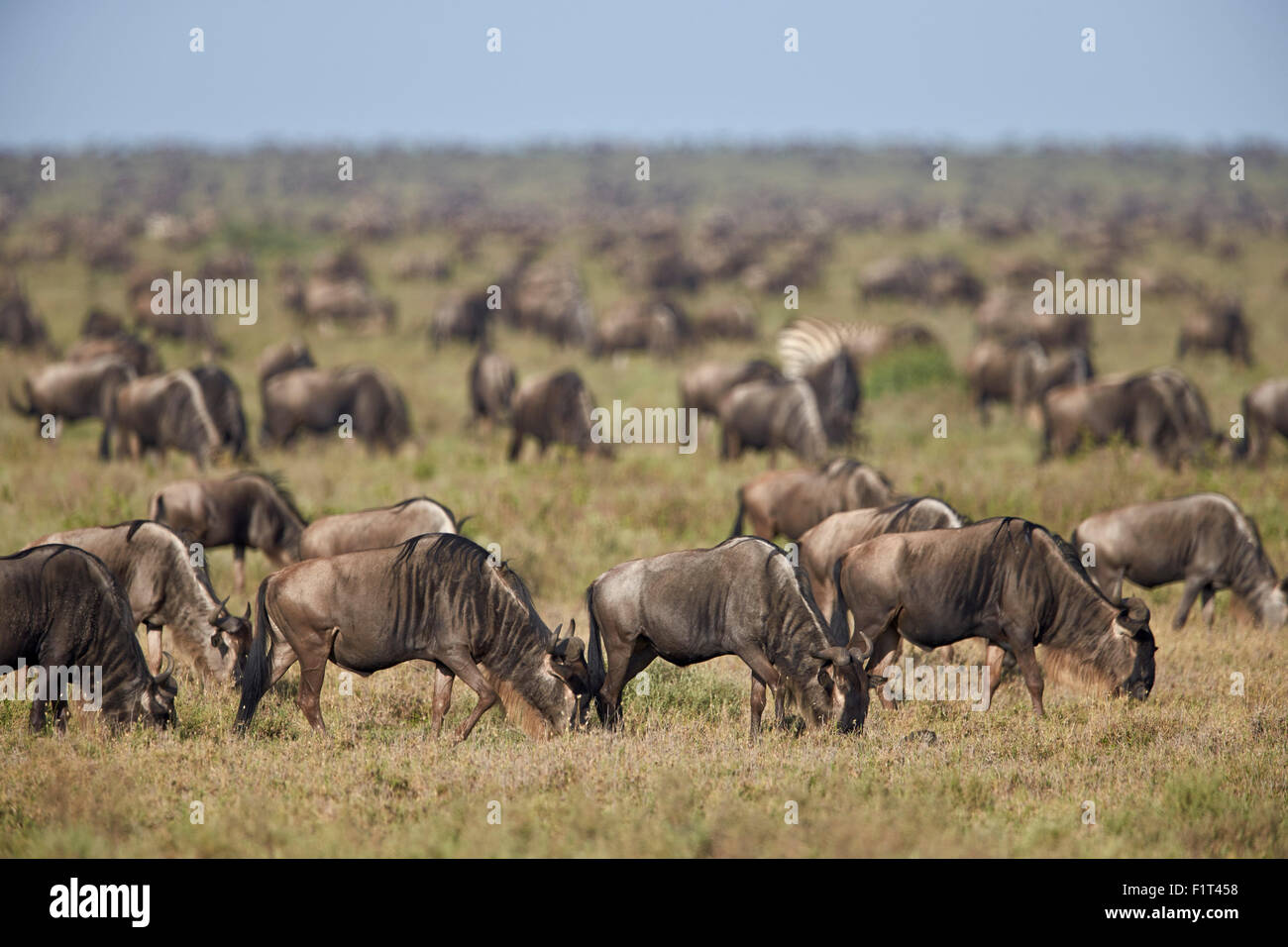 Blue wildebeest (brindled gnu) (Connochaetes taurinus) herd, Ngorongoro Conservation Area, UNESCO, Serengeti, Tanzania - Stock Image