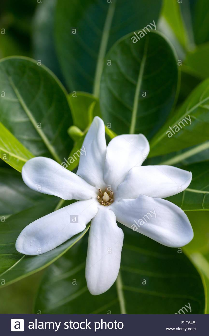 French Polynesia : Tiare Tahiti (Gardenia tahitensis) - Stock Image