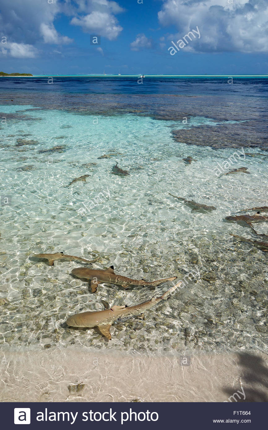 French Polynesia : blacktip reef sharks (Carcharhinus melanopterus) in the lagoon near Fakarava South Pass Stock Photo