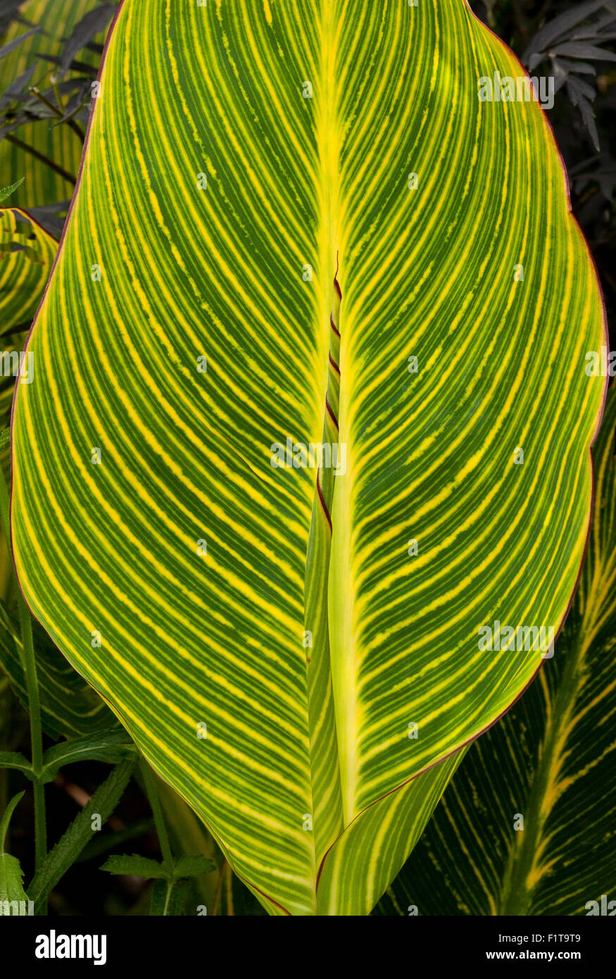 Striped leaf of the Cana plant with new leaf uncurling in a garden in England, UK Stock Photo