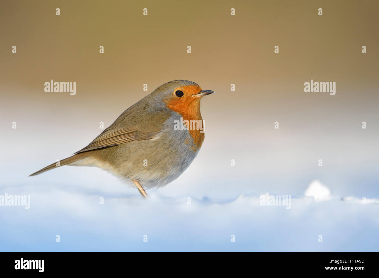Cute Robin Redbreast / Rotkehlchen ( Erithacus rubecula ) sits on snwo covered ground, warm tones, sunlight. - Stock Image