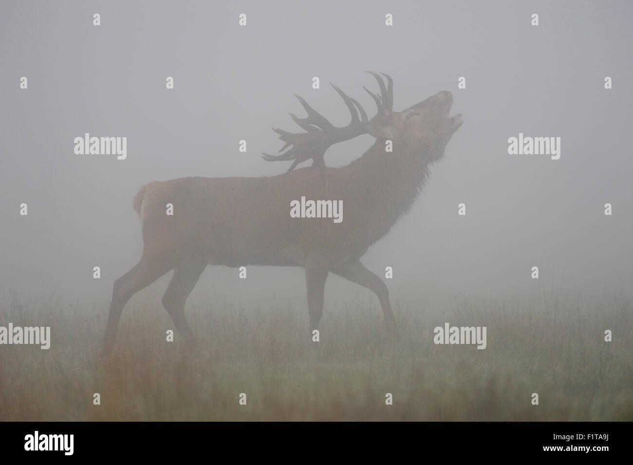 Red deer / Rothirsch ( Cervus elaphus ) stag, belling, in the mist, fog, during rutting season in autumn. Stock Photo