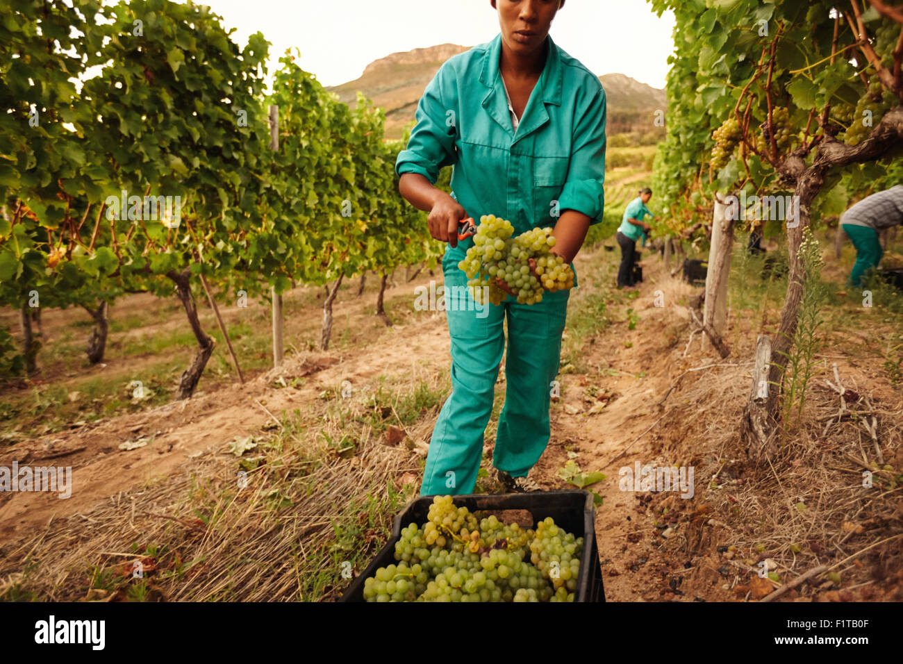 Women harvesting grapes in vineyard, Farmer putting bunch of grapes into a plastic crate in farm. - Stock Image