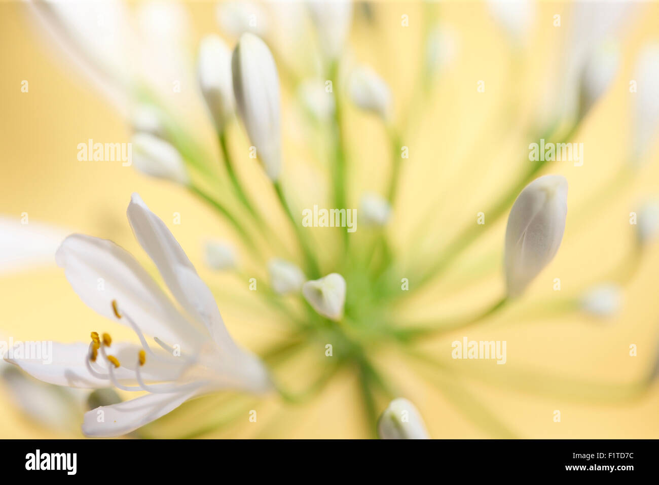 romantic agapanthus, the flower of love Jane Ann Butler Photography JABP1089 Stock Photo