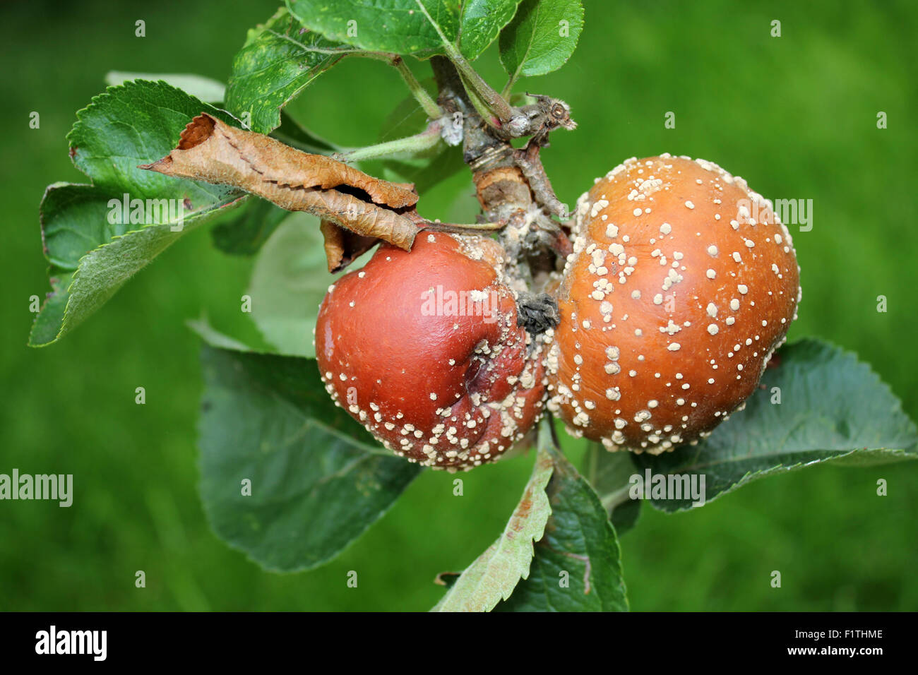 Brown Rot Fungal Disease On Apples - Stock Image