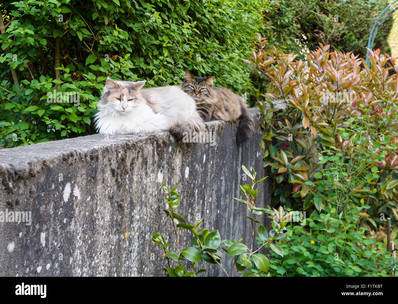 Two Persian Cats on a stone wall. Two fluffy cats one light and one dark sit on the top of an old concrete garden - Stock Image