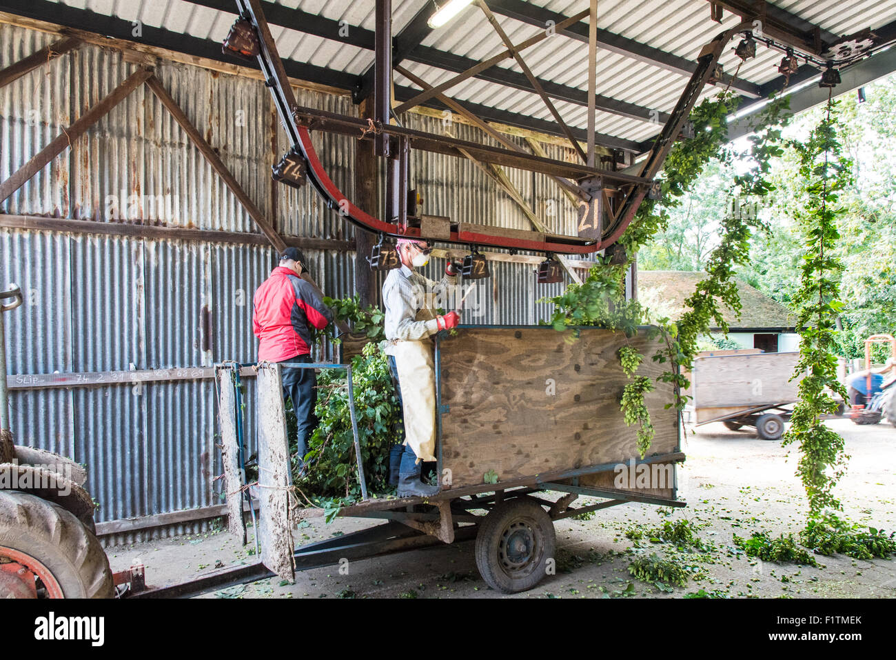 Boughton, near Faversham, Kent 7 September 2015. Hop Harvest. Workers clip the bines for transport to the machine - Stock Image