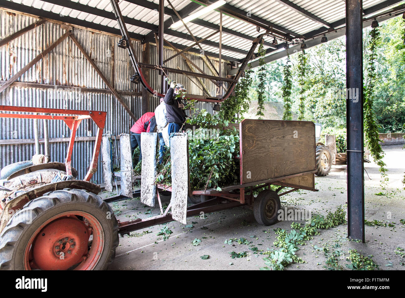 Boughton, near Faversham, Kent 7 September 2015. Hop Harvest. Workers clip the hop bines for transport to the machine - Stock Image