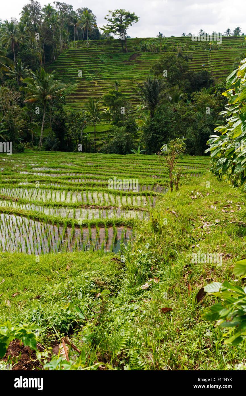 Rice terrace fields, Bali, Indonesia - Stock Image