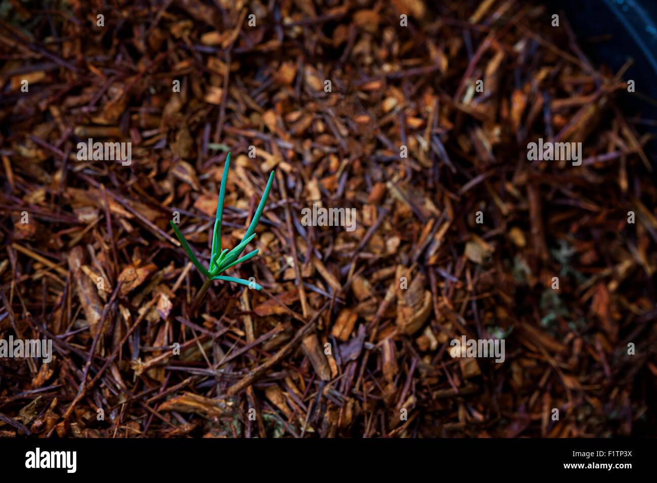 Newly germinated Giant Sequoia tree seedling - Stock Image