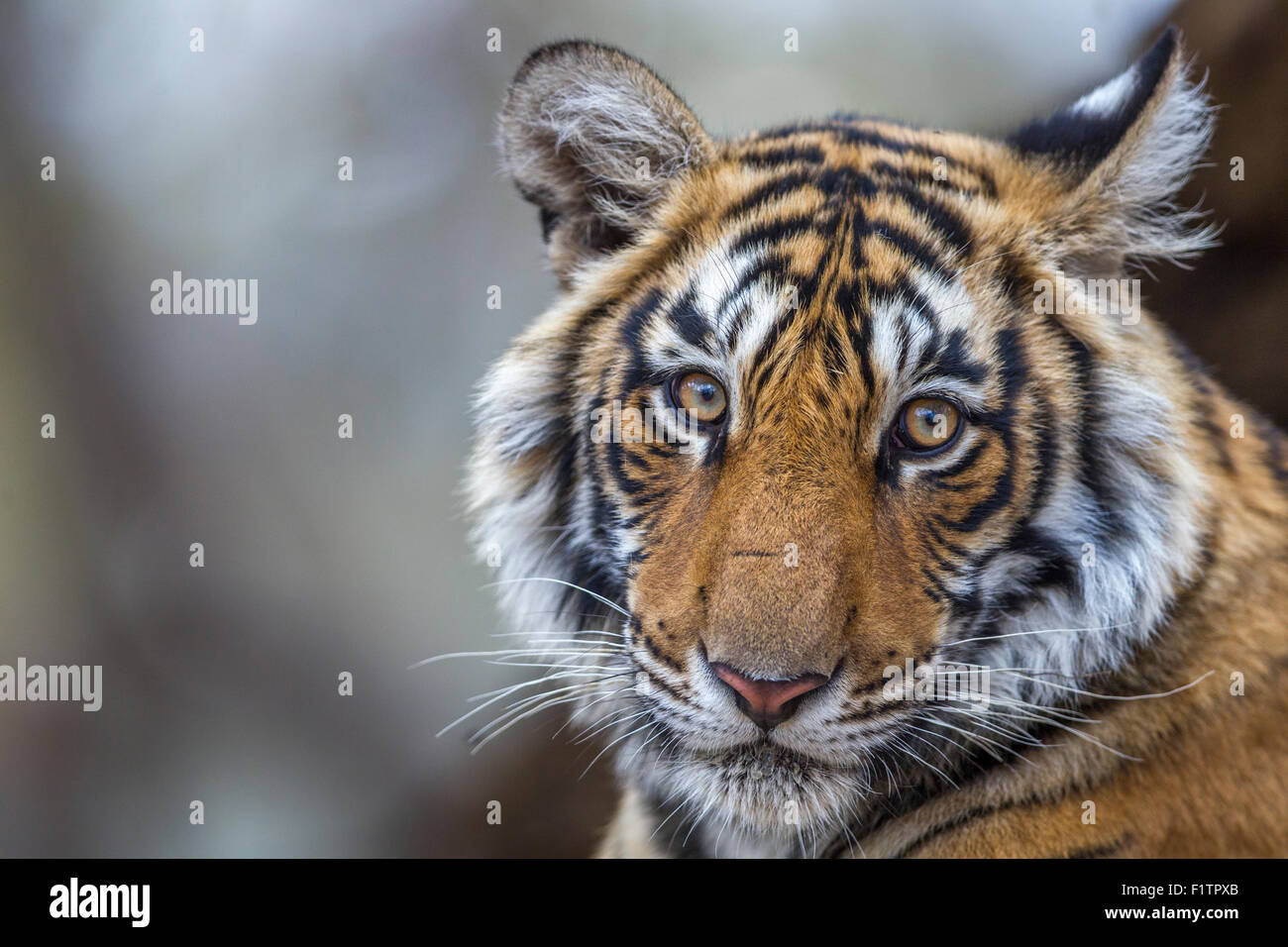 Young wild Bengal Tiger Portrait  Ranthambhore forest. [Panthera Tigris] - Stock Image