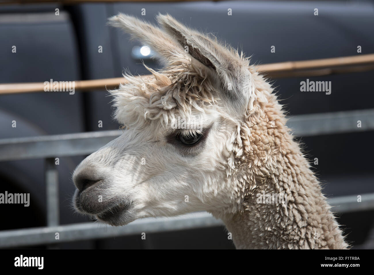 Alpaca face close up at Stow cum Quy show ground for Cambridgeshire Steam Rally and Country Fair England Stock Photo
