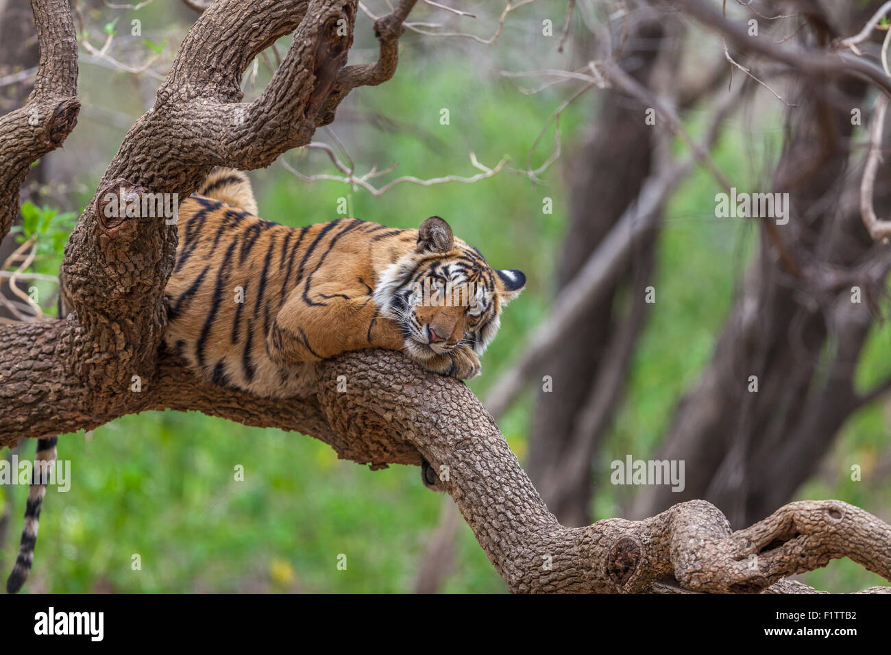 A Bengal Tiger around 13 months old climbed on a tree at Ranthambhore Forest, India. [Panthera Tigris] - Stock Image