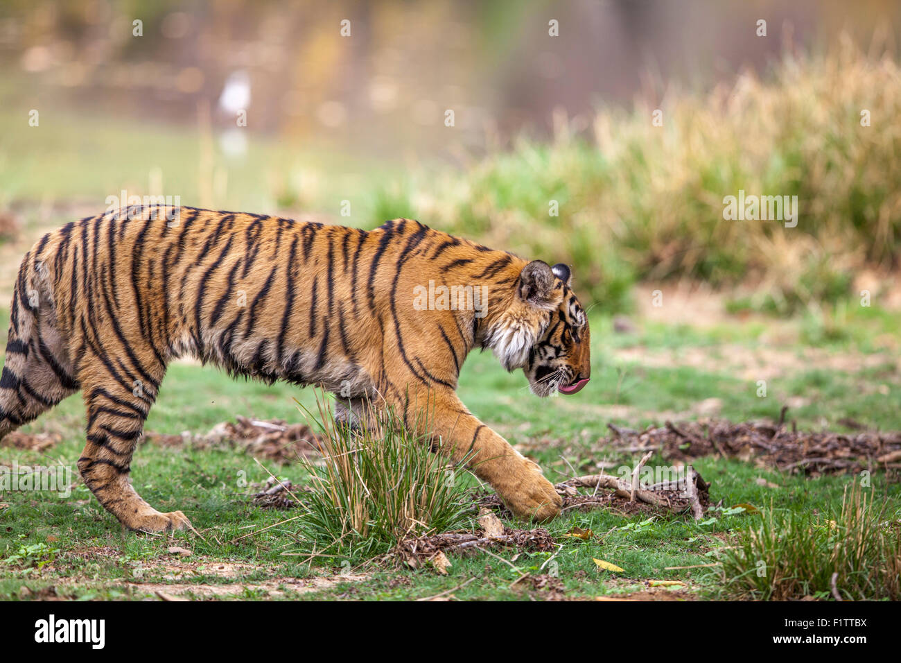 Young Bengal Prowling nearby lake Ranthambhore forest. [Panthera Tigris] - Stock Image