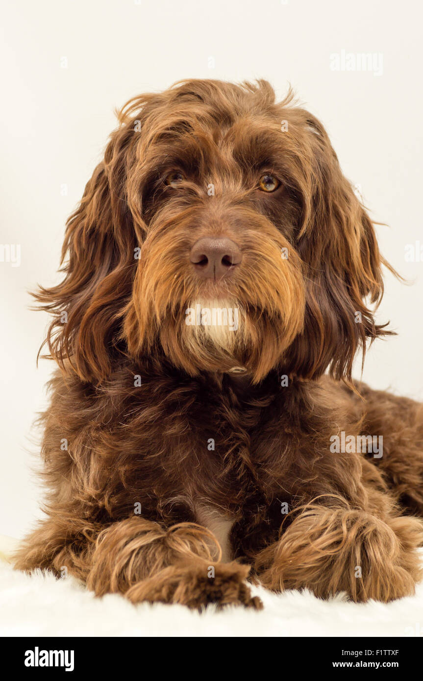 Long Haired Dog Stock Photos Long Haired Dog Stock Images