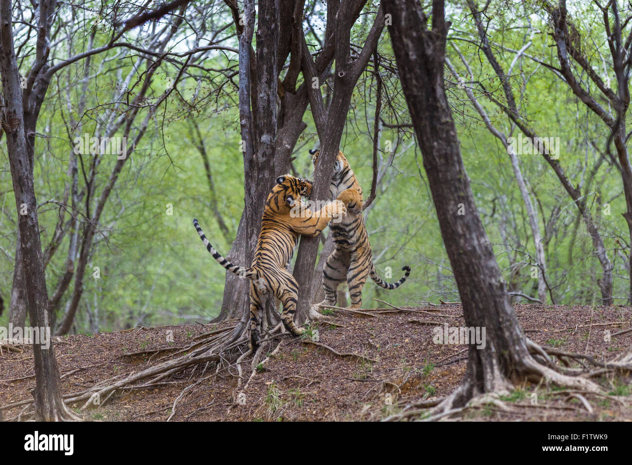 Bengal Tiger siblings in a Playful fight, at Ranthambhore forest. [Panthera Tigris] - Stock Image