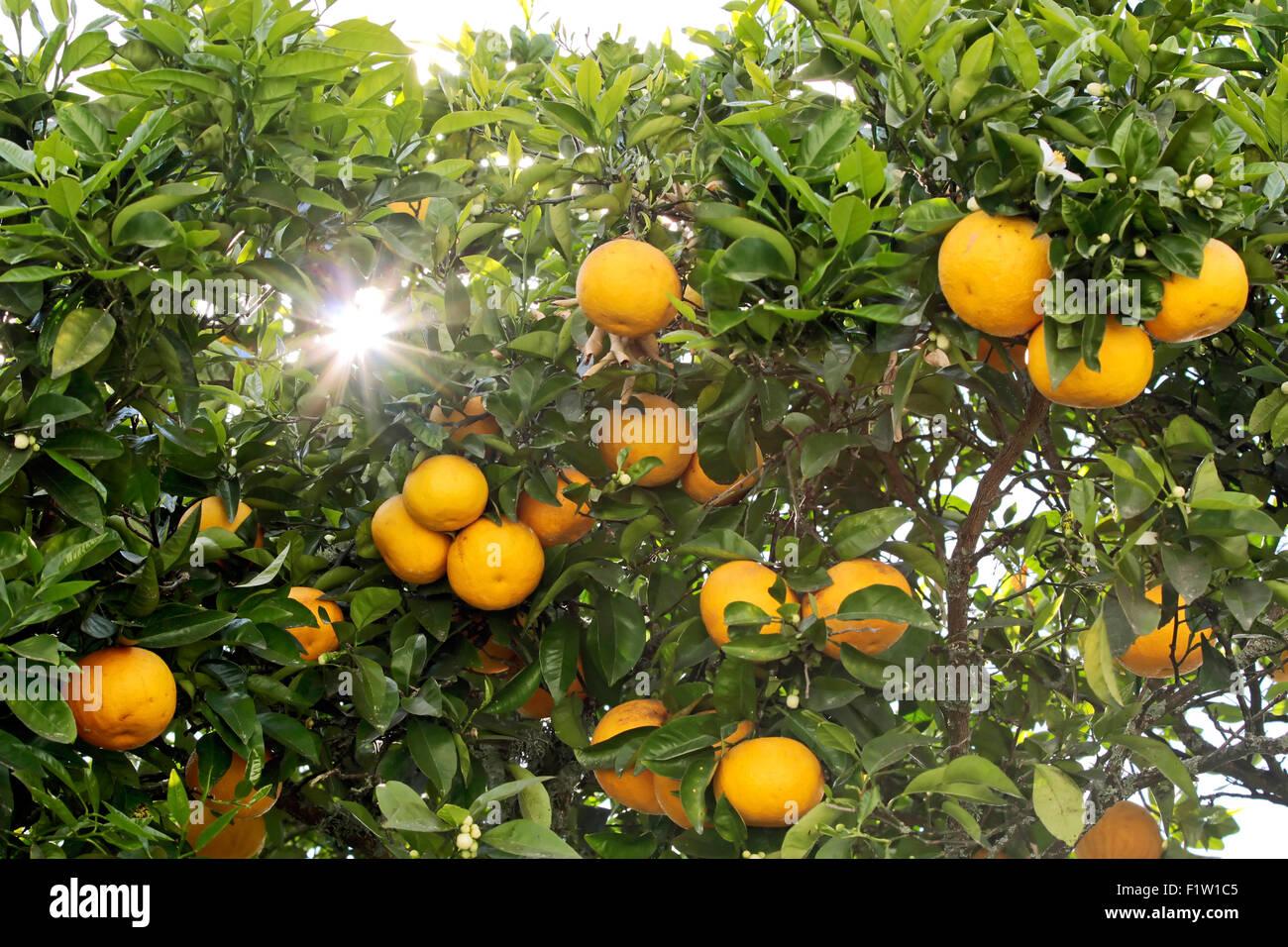Orange tree in Rotorua, North Island, New Zealand - Stock Image