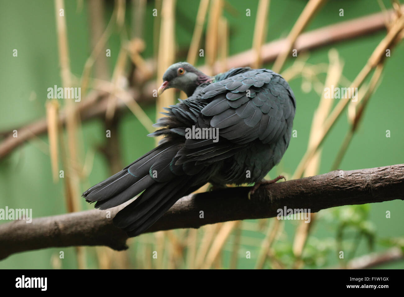Metallic pigeon (Columba vitiensis griseogularis), also known as the white-throated pigeon at Plzen Zoo in West - Stock Image