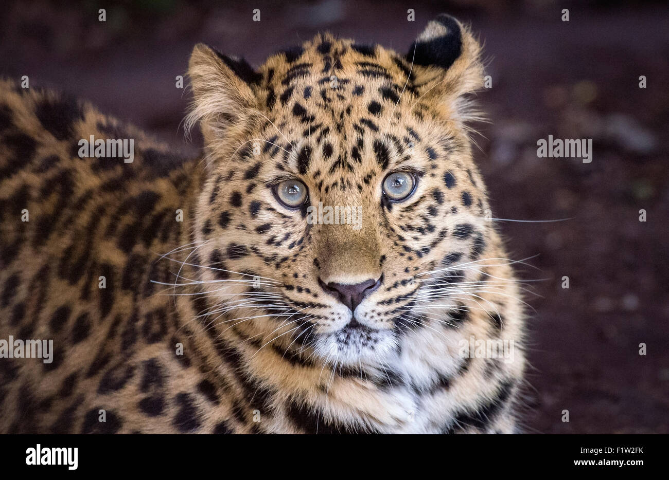 Young Amur leopard staring at camera - Stock Image