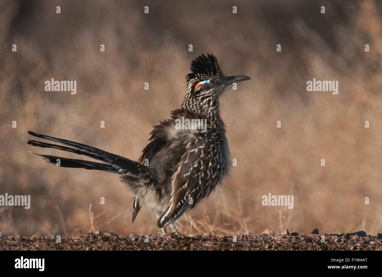 Greater Roadrunner (Geococcyx californianus) is a year round resident of the Bosque del Apache National Wildlife - Stock Image