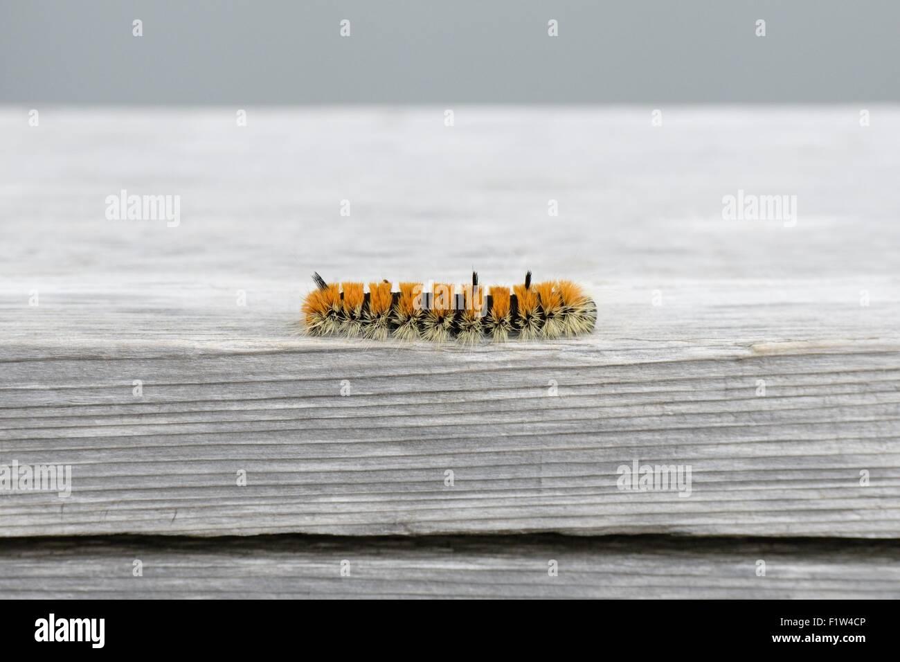 Orange and black caterpillar - Acronicta dactylina - Stock Image