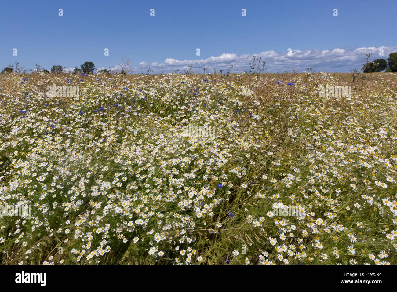 Wildflowers (Bellis perennis or Common Daisies) on the island of Aero, Denmark - Stock Image