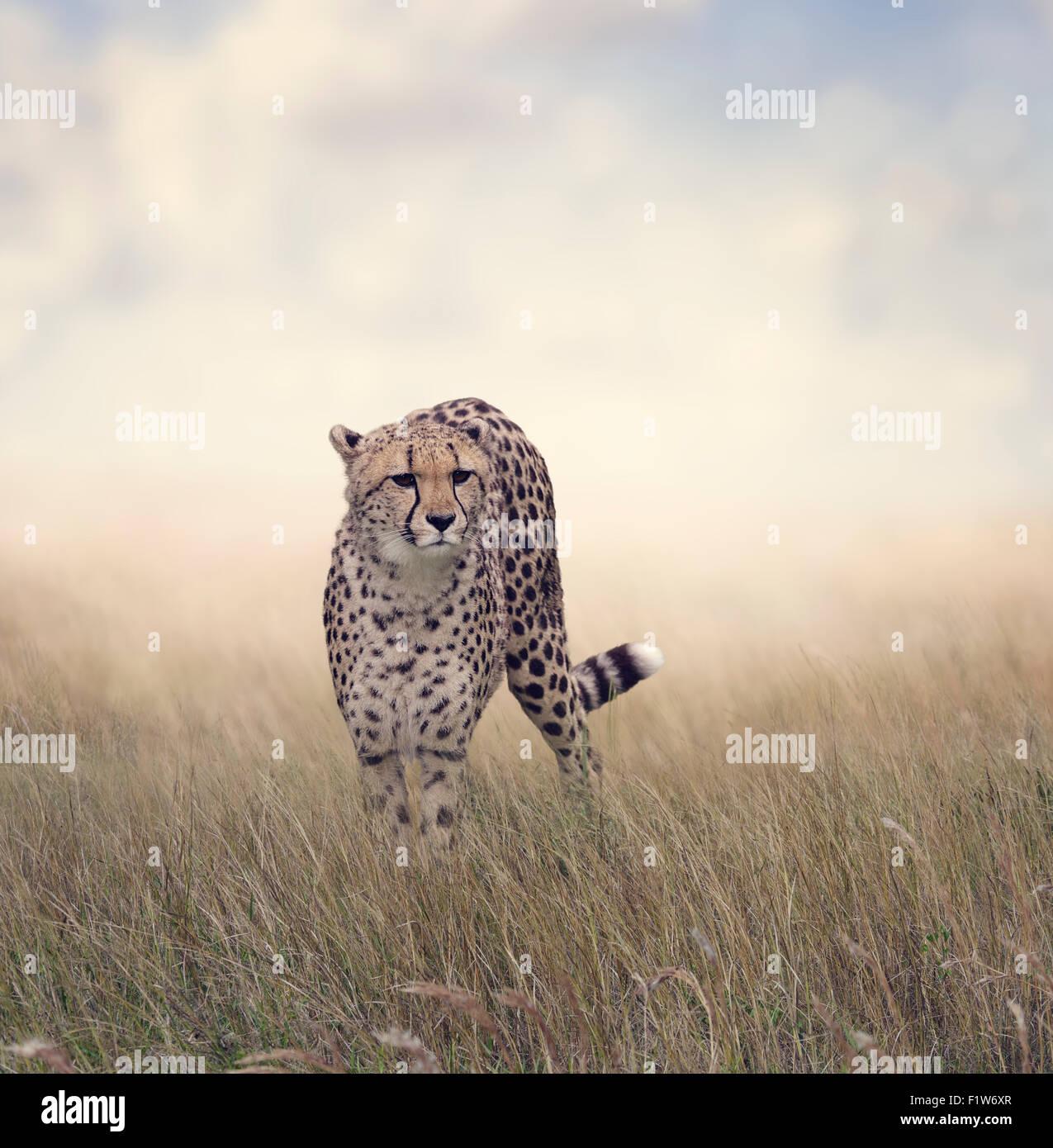 Cheetah Walking in The Grassland - Stock Image
