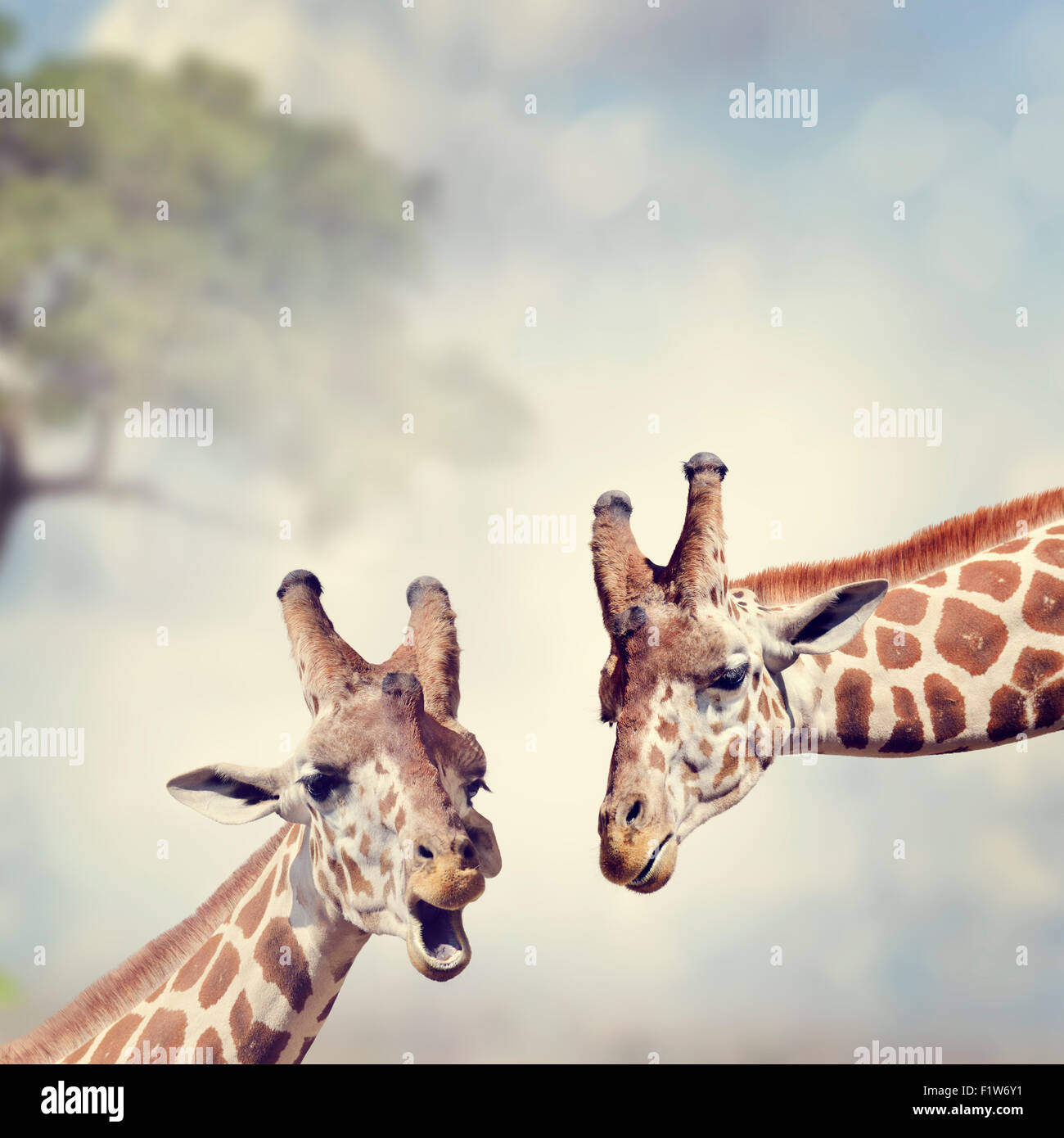 Picture of Two Adult Giraffes - Stock Image