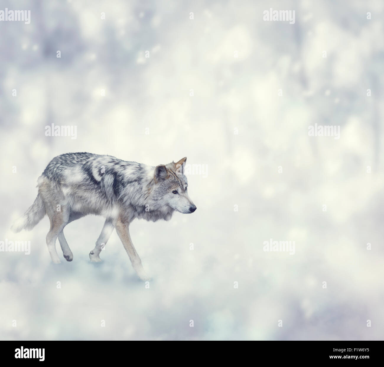 Wolf Walking on The Snow - Stock Image