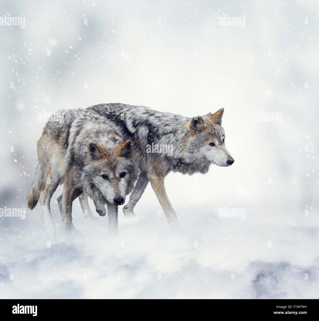 Two Wolves Walking in the Snow - Stock Image