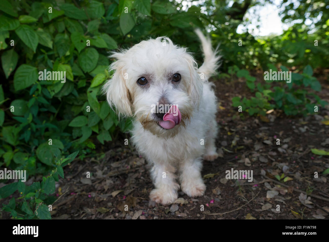 Cute dog is a cute whte fluffy adorable dog licking its nose and wagging its tail outdoors. - Stock Image