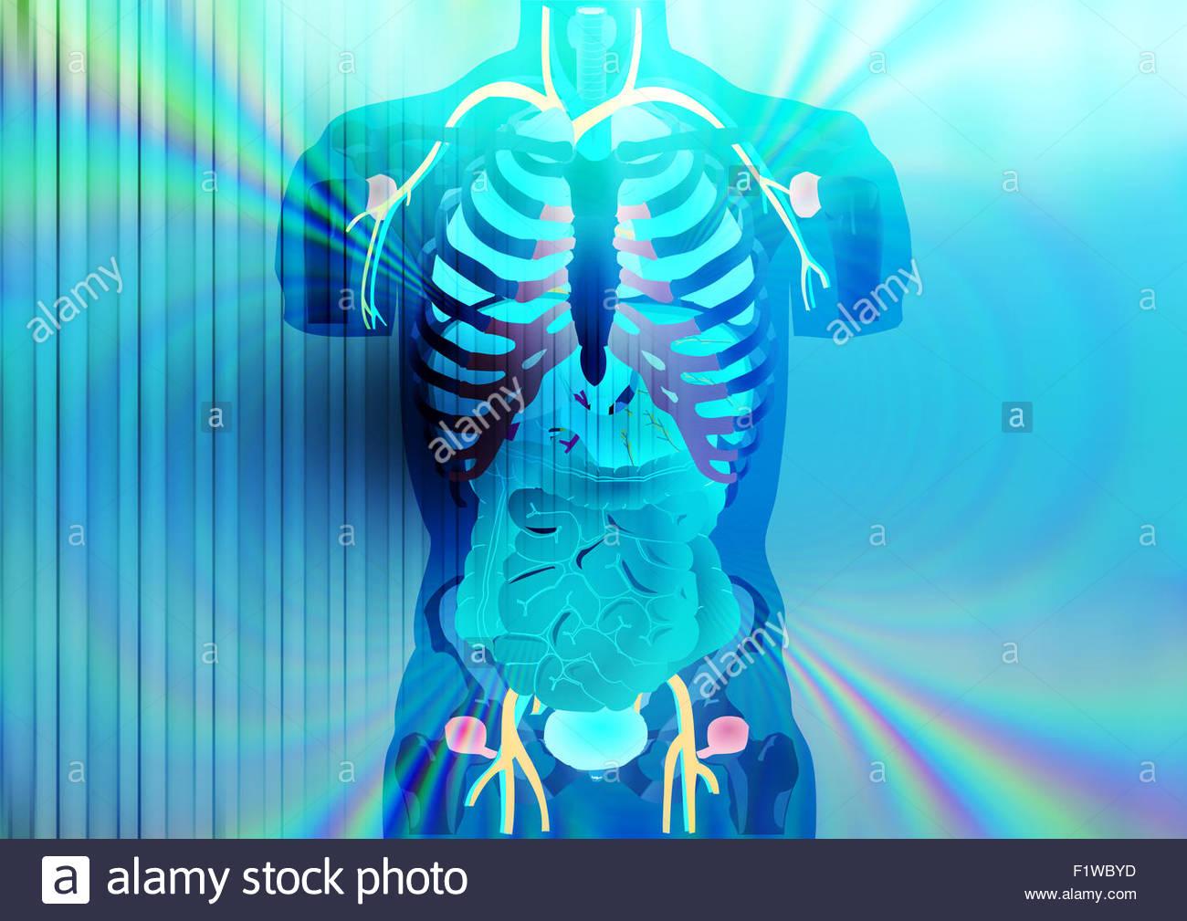 X-ray vision of human internal organs - Stock Image