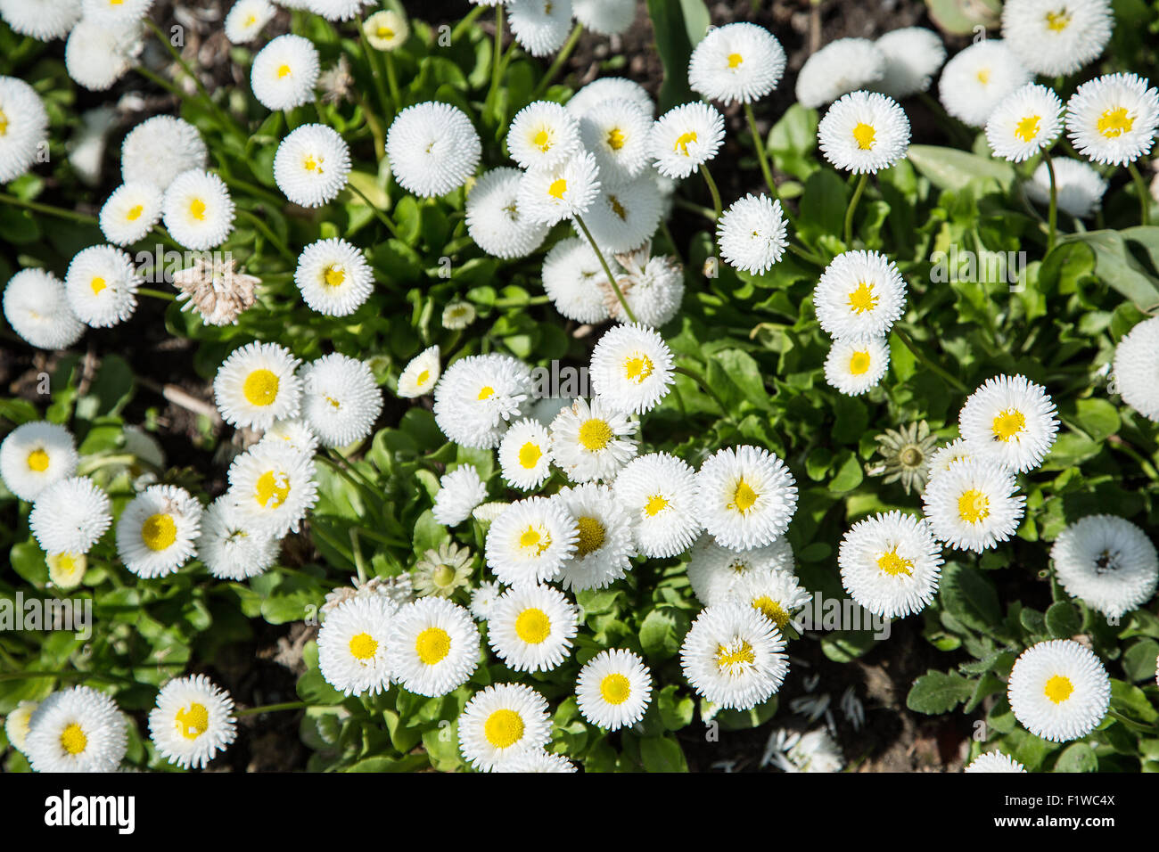 White bellies  flowers. Close-up shot. Nature background. - Stock Image