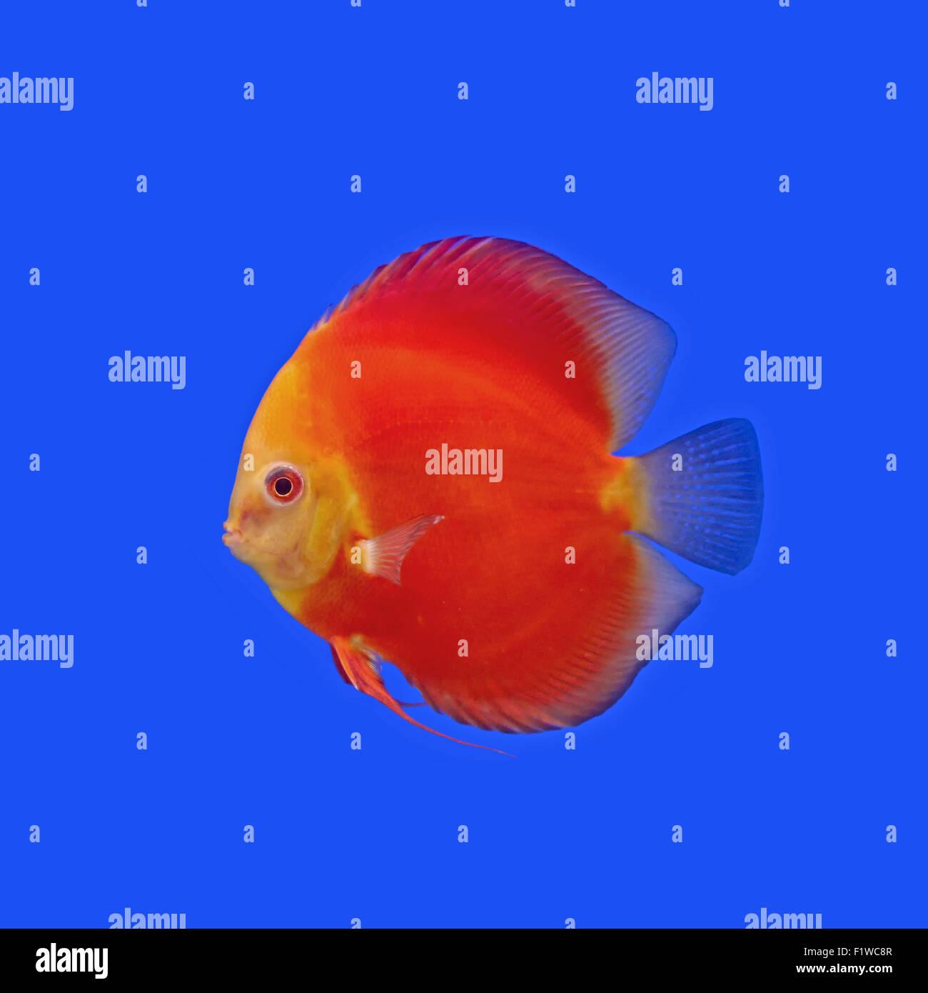Pompadour Fish Stock Photos & Pompadour Fish Stock Images - Alamy