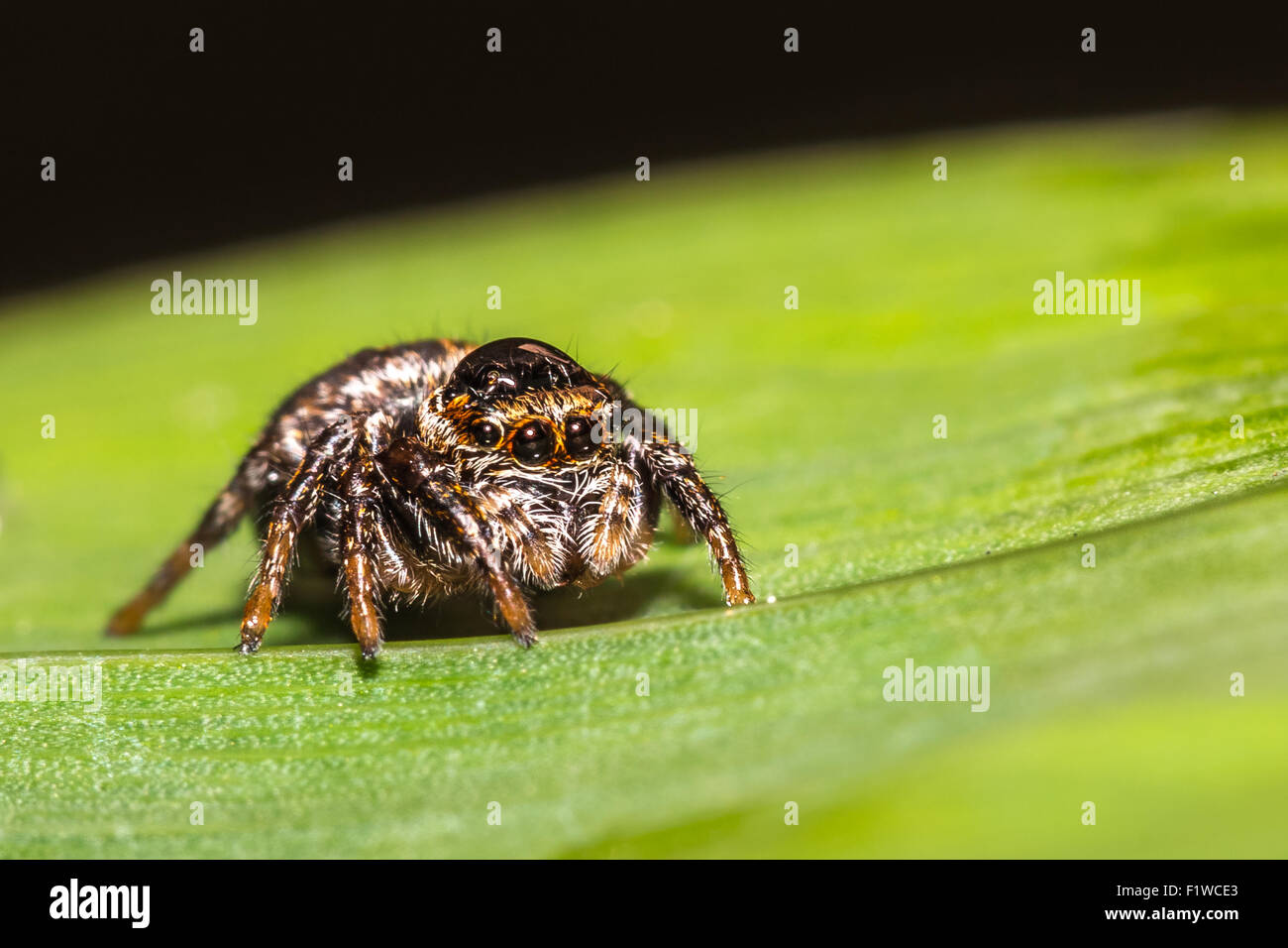 A jumping spider on a leaf. - Stock Image