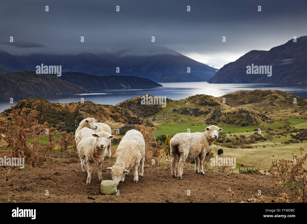 Sheep licking salt, Mount Roys, Wanaka, New Zealand - Stock Image