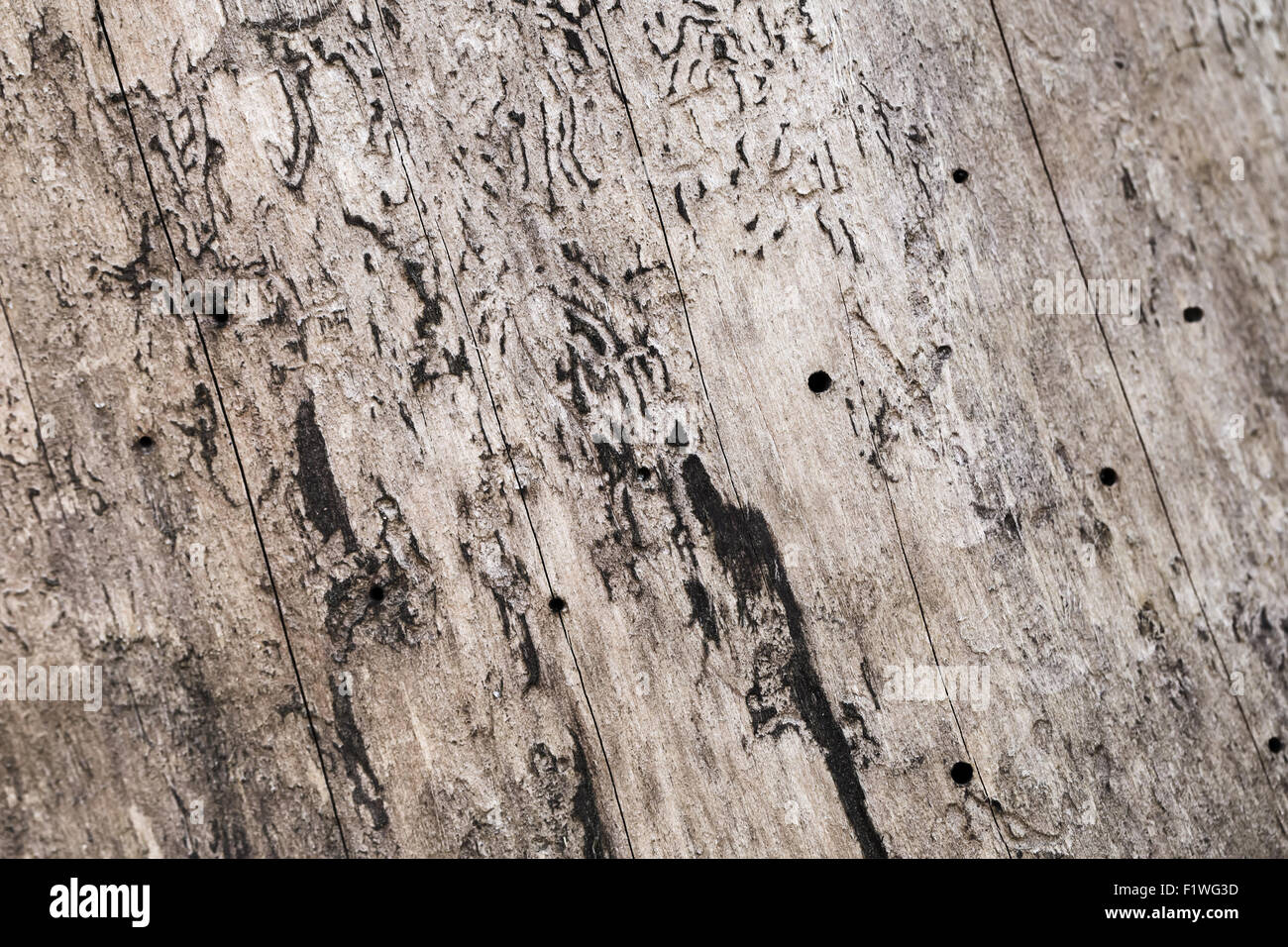 Old wooden bark surface with natural holes, background photo texture - Stock Image