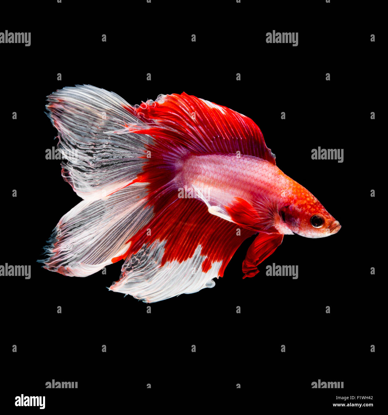 Red and white siamese fighting fish, betta fish, two tail profile ...