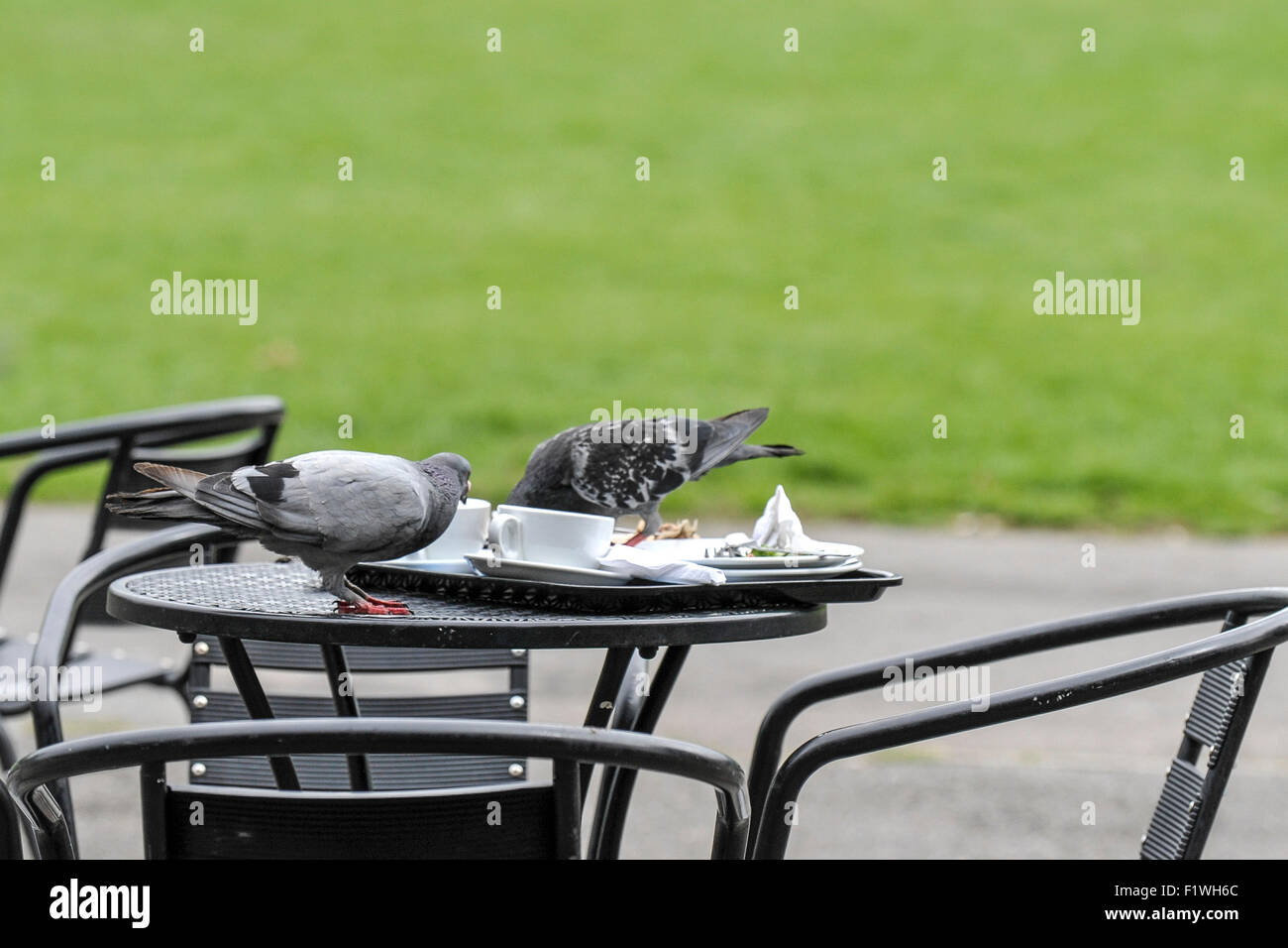Pigeons feed on a cafe table. - Stock Image