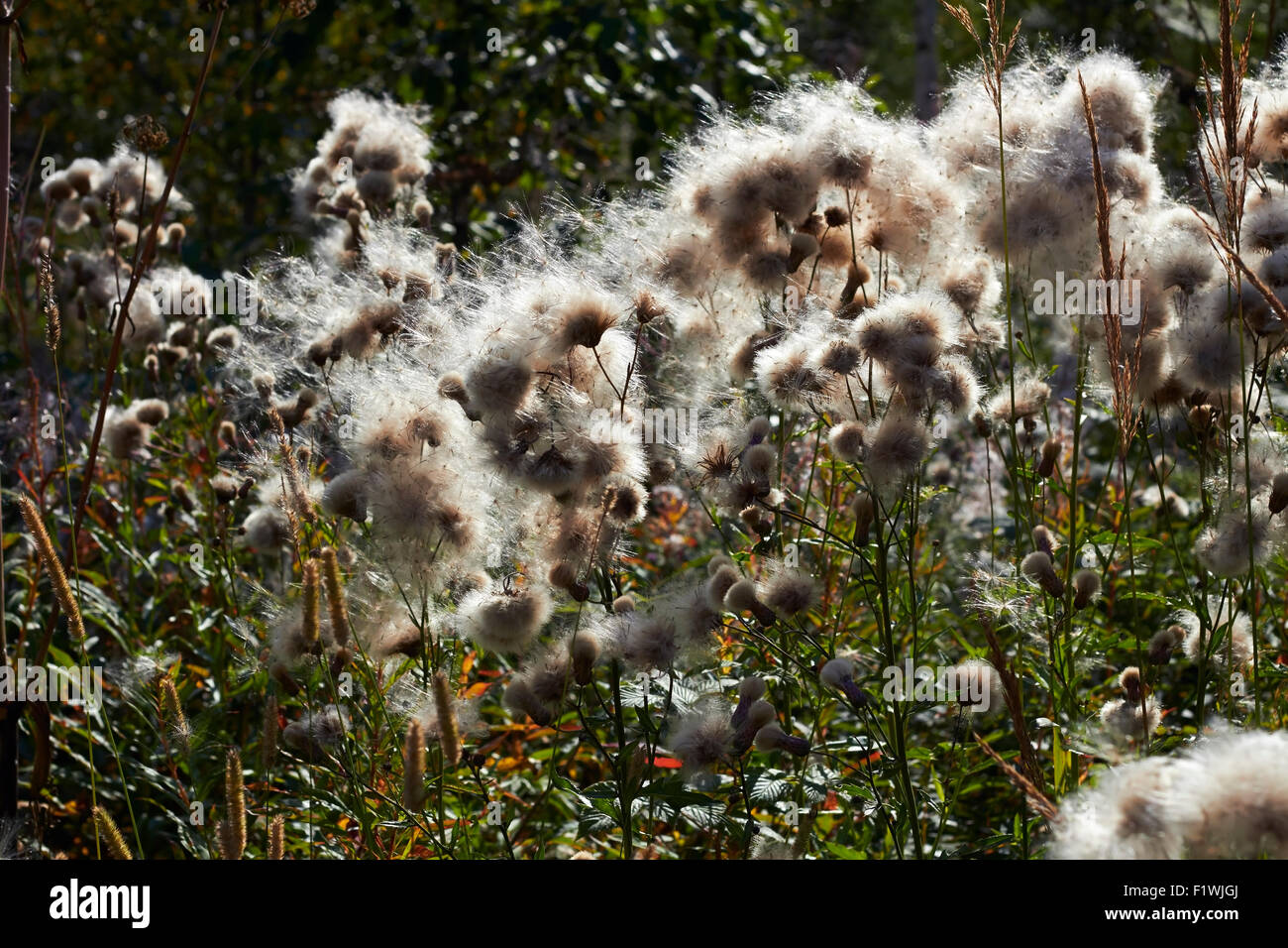 Cirsium arvense, Creeping thistle seeds - Stock Image