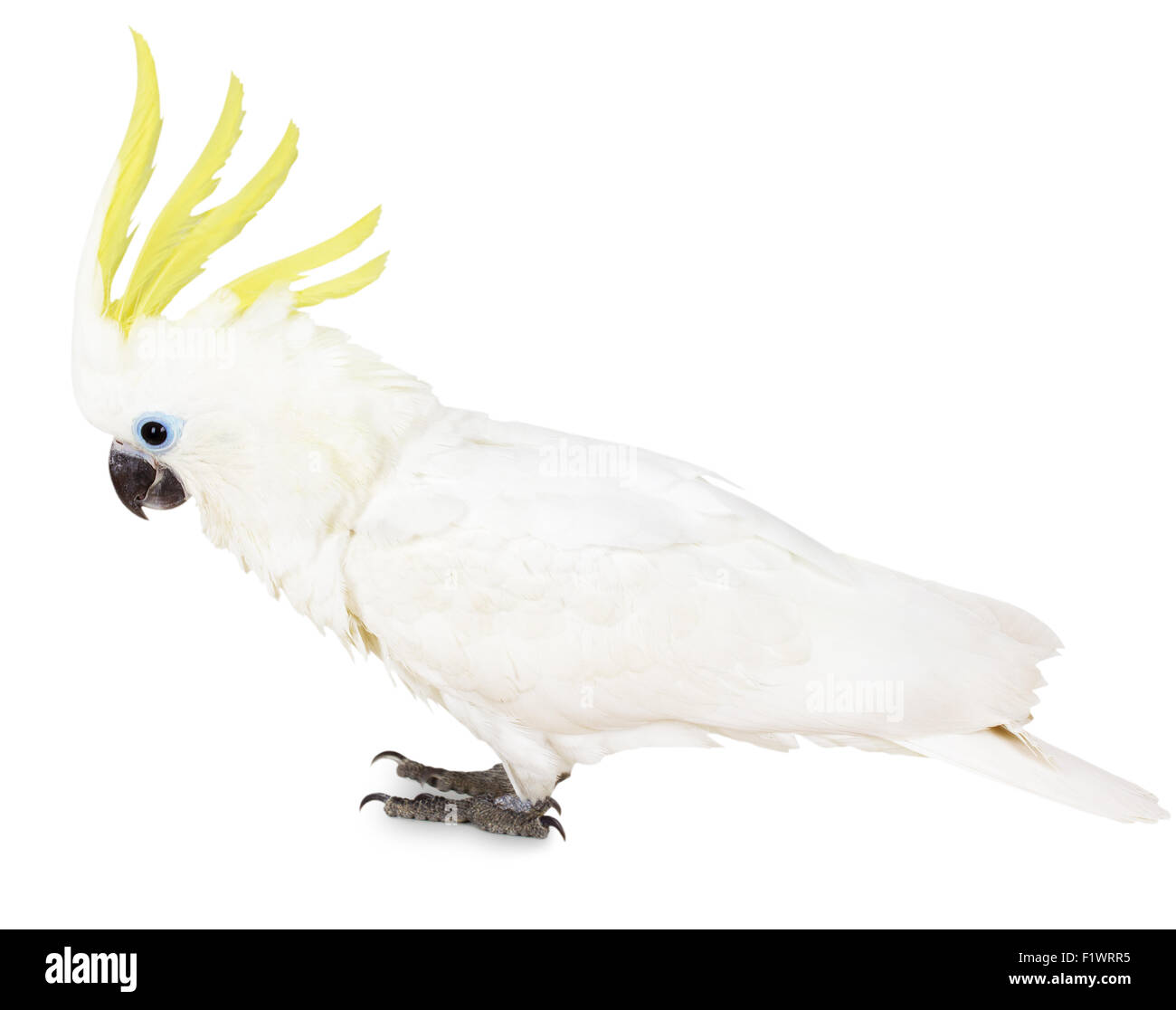 Sulphur-crested Cockatoo on the white background. - Stock Image