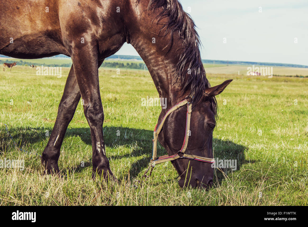 bay horse in the field on the sky background. - Stock Image