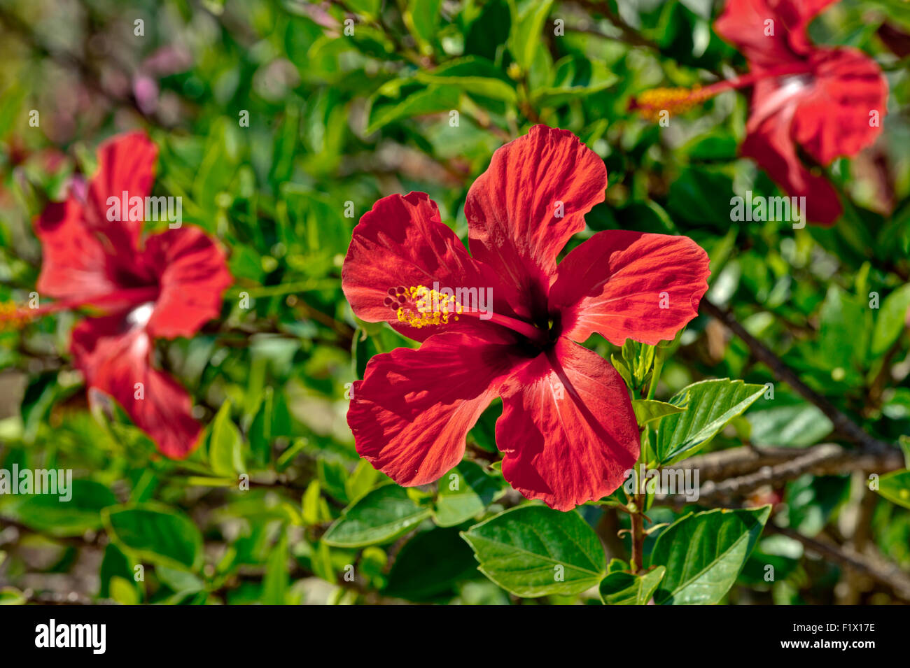 Hibiscus red bush not closeup stock photos hibiscus red bush not portugal algarve hibiscus flowers stock image izmirmasajfo
