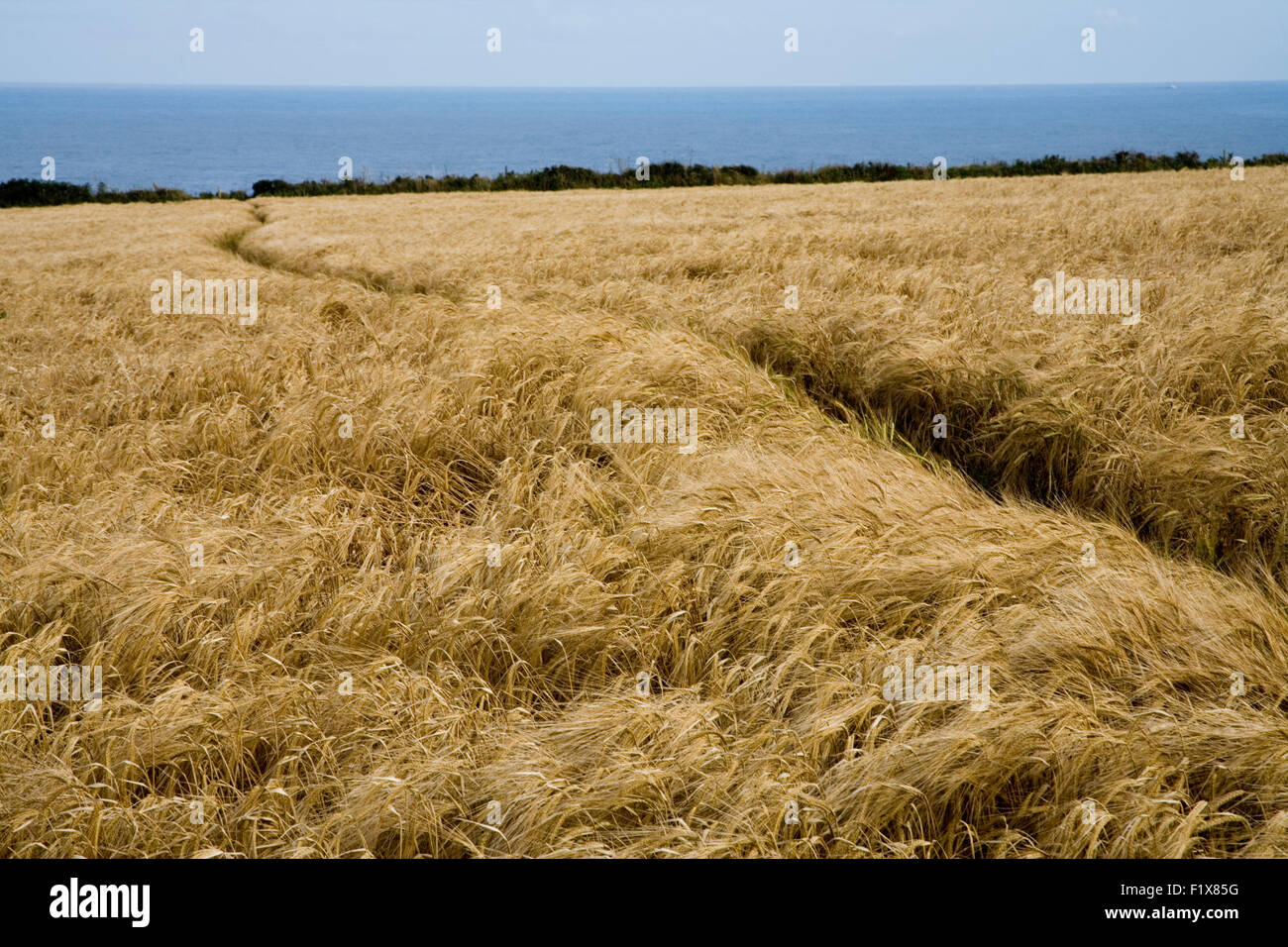 Path through Wheat field - Stock Image