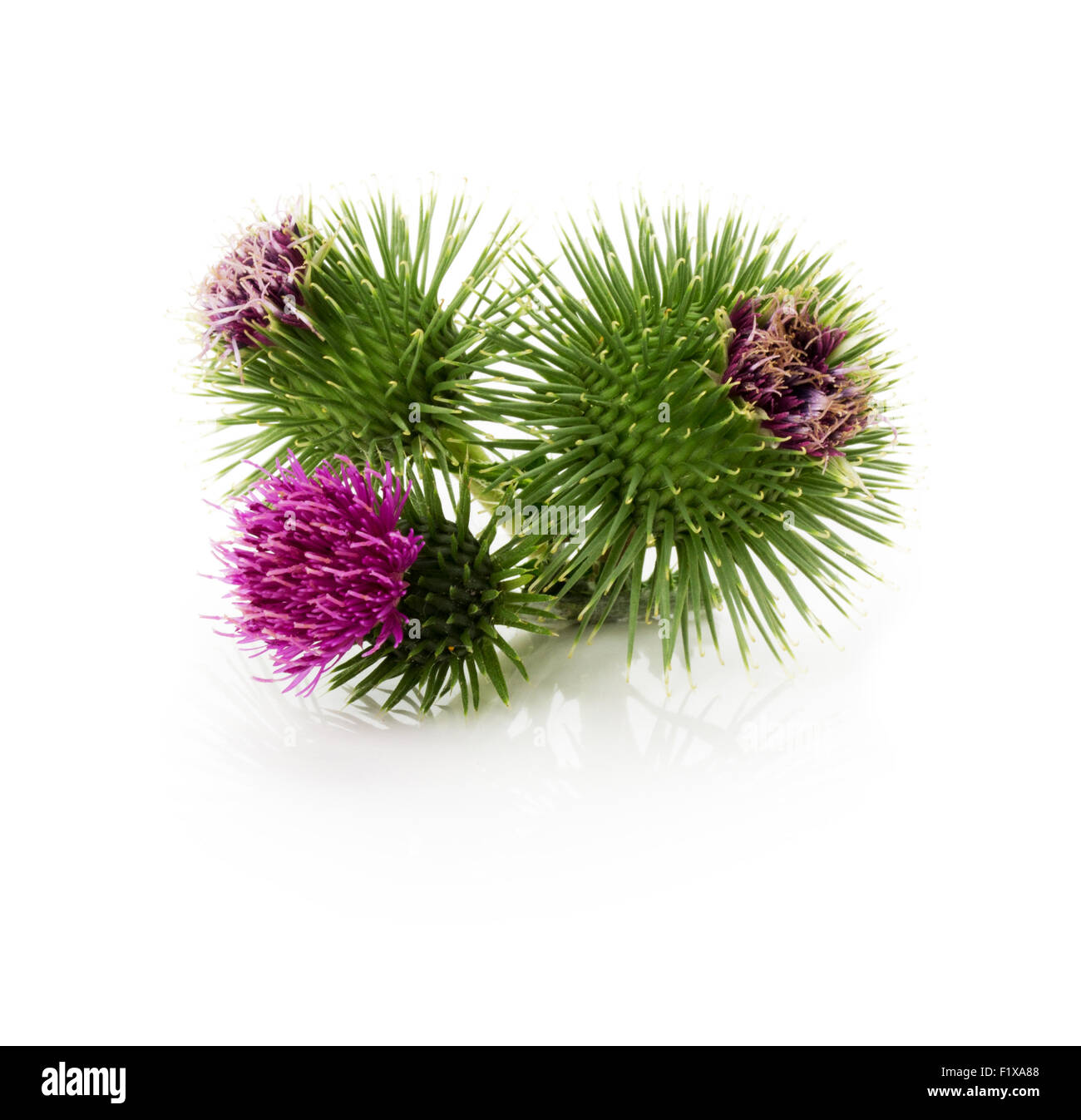 thistle flowers isolated on the white background. - Stock Image